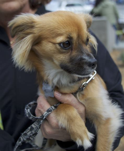 pomeranian hair chihuahua mix well come on in san francisco who could blame me you guys are the dogs of