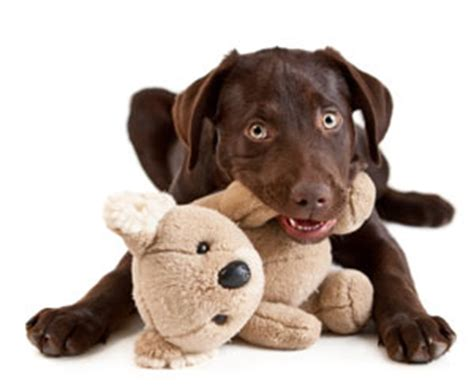 how to keep dogs from chewing how to stop my from chewing pets world