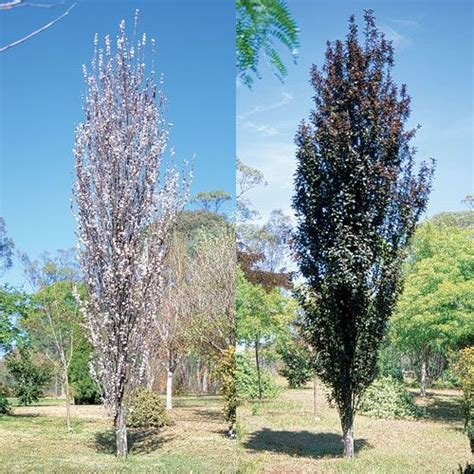 narrow flowering shrubs prunus cerasifera oakville crimson spire great all