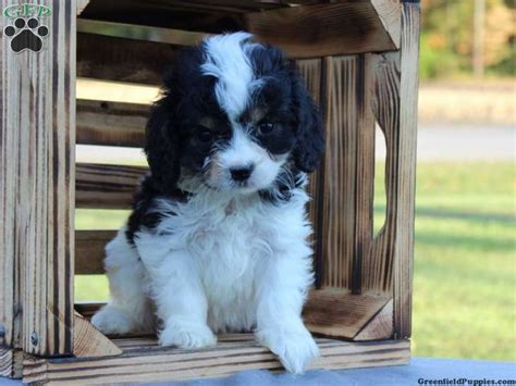 cavapoo puppies for sale in pa 98 best pretty puppies images on