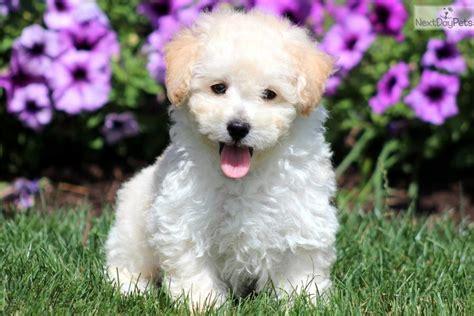 bichpoo puppies poo bichpoo puppy for sale near lancaster pennsylvania 2e374718 d581