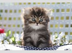 Shaded Golden Persian Kitten For Sale, Thumper, Persian ... Kittens For Sale