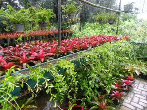jual tanaman menjuntai lee kwan yew suplier tanaman hias