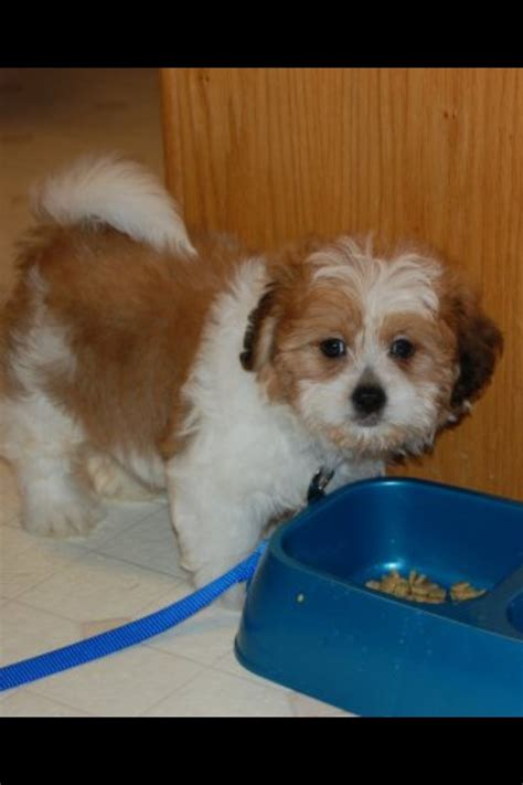half shih tzu and half bichon frise pin by paddock on i can quot t live without them