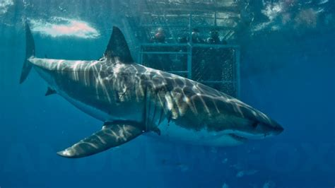 best place to dive best places around the world to cage dive with great white