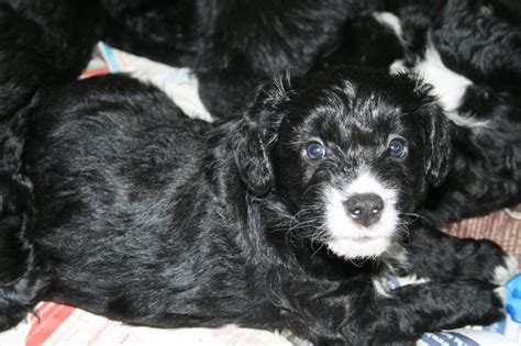 border doodle puppies for sale uk bordoodle puppies for sale only 1 remaining