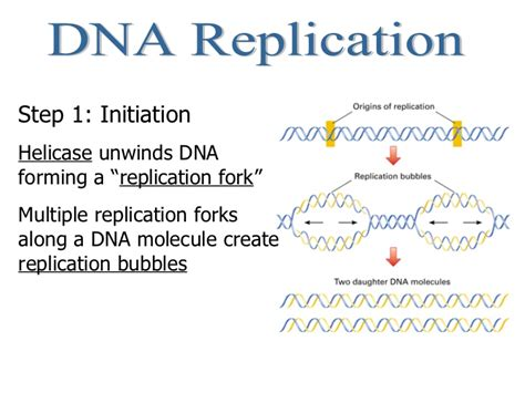 4 proteins involved in dna replication central dogma of dna