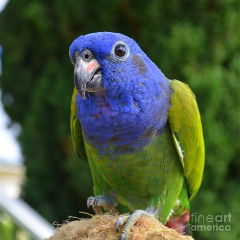blue headed pionus parrot photograph by mary deal