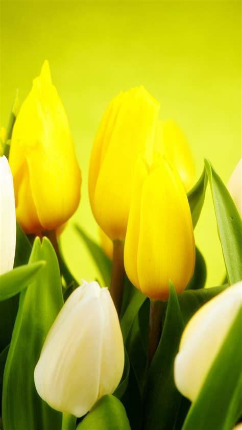 wallpaper tulip  hd wallpaper spring flower yellow