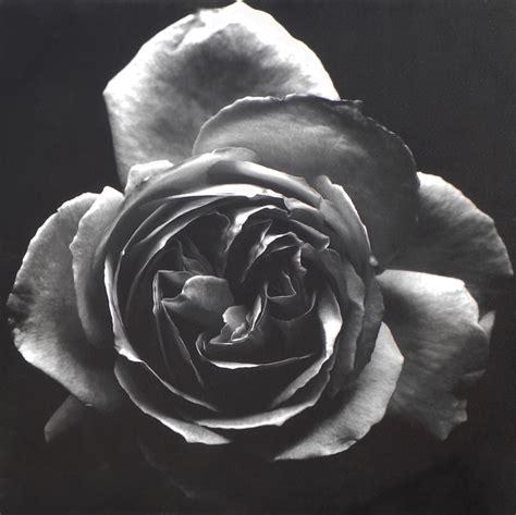 rosa nera fiore quadro rosa nera quadri fior di loto riccione