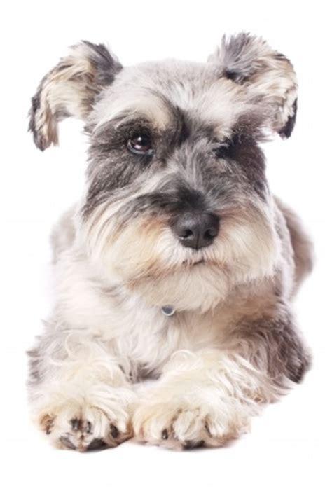 best food for miniature schnauzer puppy miniature schnauzer breed information