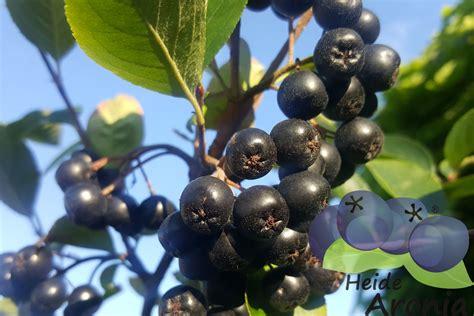 pflanzen garten bestellen aronia pflanzen im garten pflanzen aroniabeeren strauch kaufen
