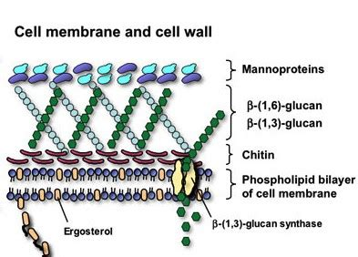 fungal cell membrane  cell wall nammex