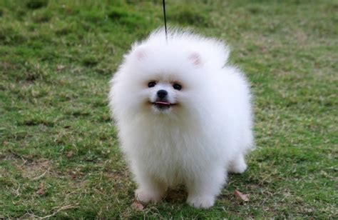 where to get pomeranian puppies pictures of pomeranian dogs and puppies pets world