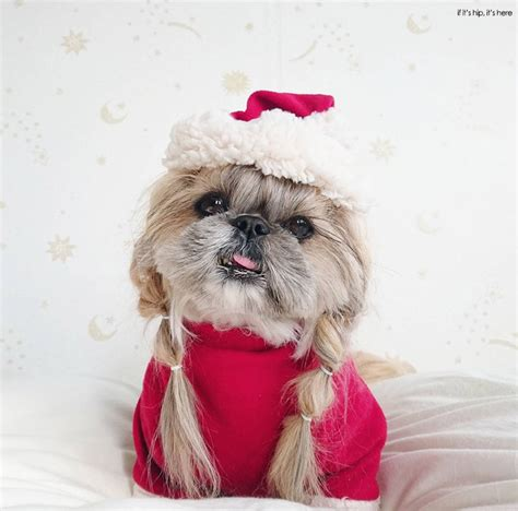 how much are shih tzu puppies worth dogs who deserves more followers than you kuma