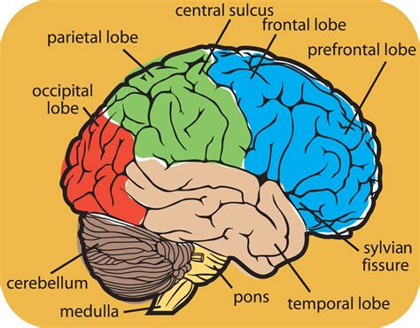 brain anatomy diagram brain powered food for thought speak up for the