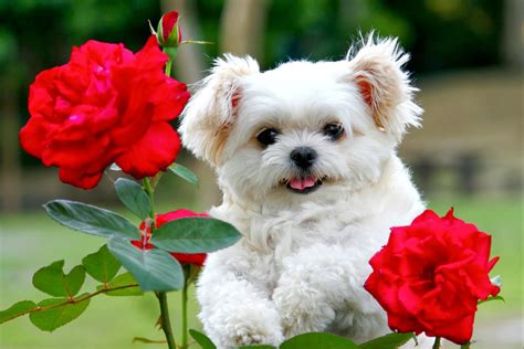 wallpaper of cute puppies beautiful cute puppies wallpapers free hd desktop