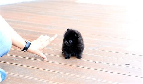 black micro teacup pomeranian teacup black pomeranian puppies www pixshark images galleries with a bite