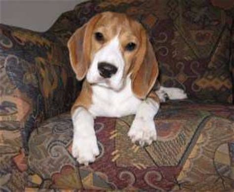 cost of beagle puppies beagle pro beagle puppy care