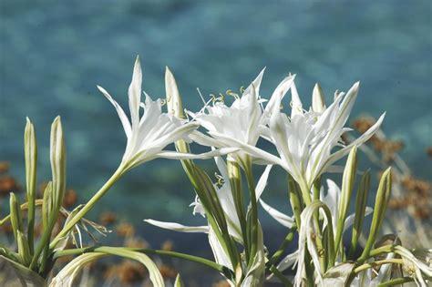 significato fiore lilium lilium il giglio simbolo di purezza coltivazione e