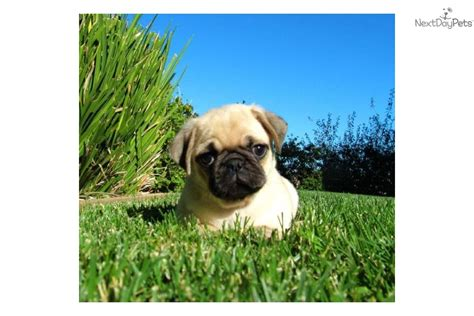 pug ad meet fiona a pug puppy for sale for 850 ad akc pug puppies in san