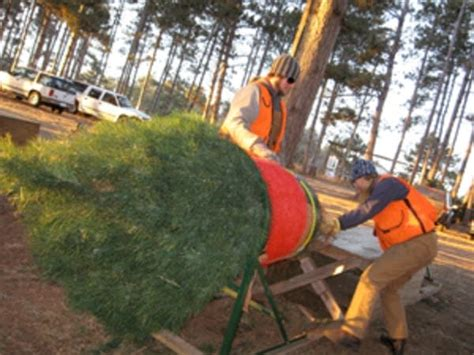 minnesota farms to harvest 500 000 christmas trees the