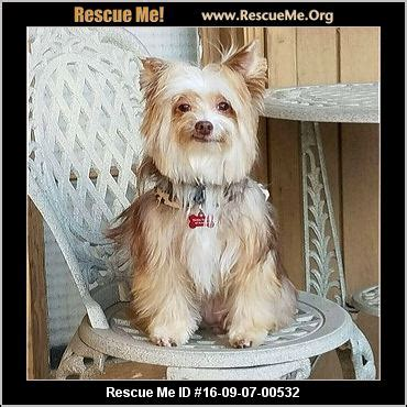 yorkie rescue near me california yorkie rescue adoptions rescueme org