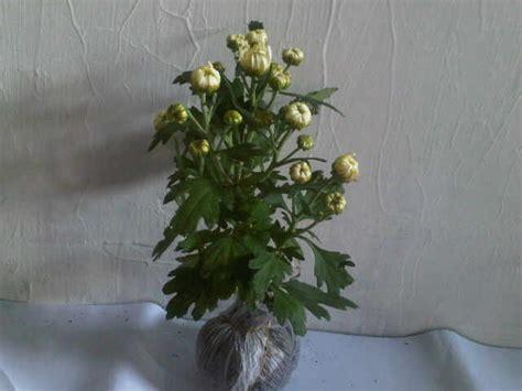 Tanaman Hias Krisan Merah Pot tanaman krisan putih jual tanaman hias