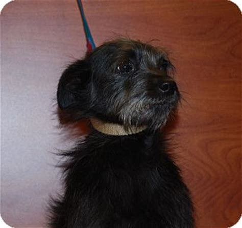 wire haired terrier yorkie mix pet not found