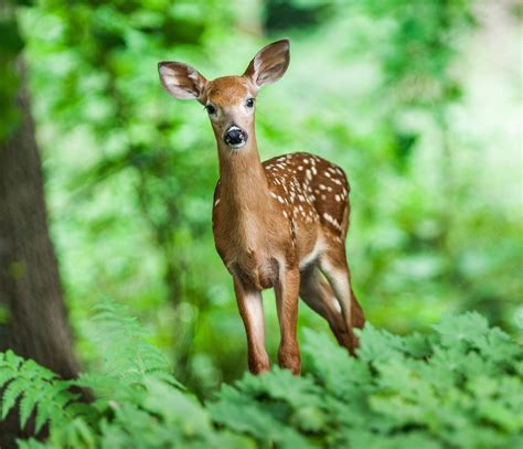deer images deer how to identity and keep deer out of your garden