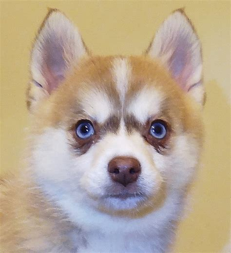 pictures of pomeranian husky pomsky 1 resource for pomeranian husky mix