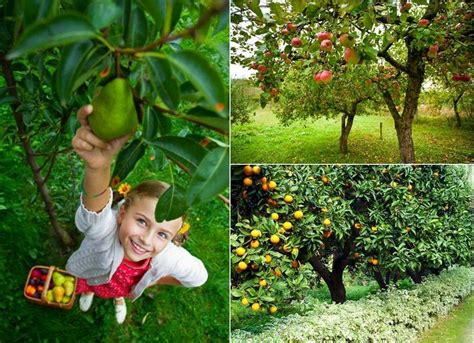mini orchard fruit trees 56 best images about fruit trees on
