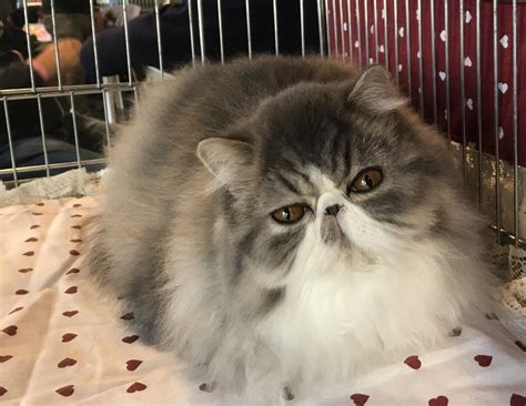 immagini di gatti persiani un mondo di gatti le foto