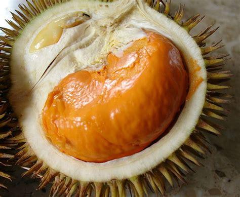 Benih Durian Tembaga jual benih biji durian tembaga kar riau di lapak