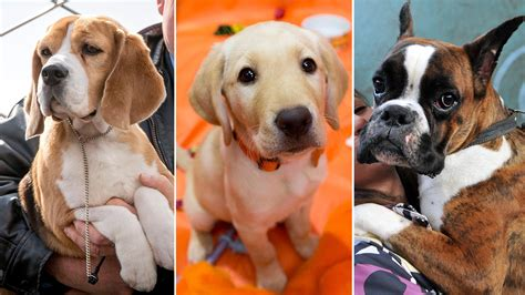 most popular breeds in us top 5 breeds in america