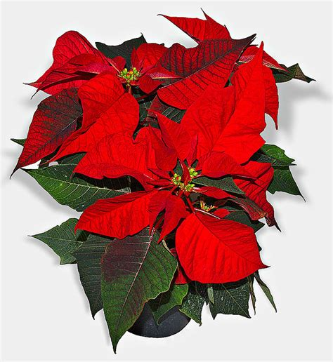 how to care for poinsettia plants houseplant411 com