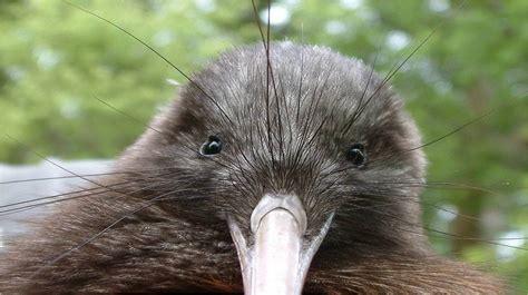 imagenes de animal kiwi p 225 jaro kiwi caracter 237 sticas alimentaci 243 n habitad y mas