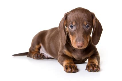 teacup dachshund puppies for sale teacup dachshund puppies for sale miniature dachshund teacup dachshund