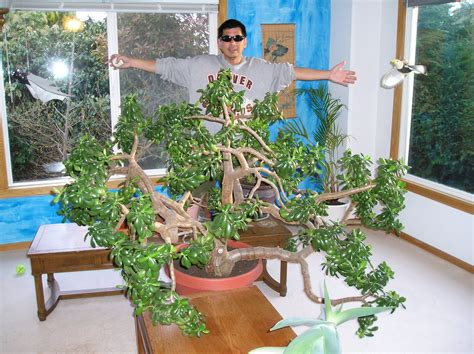 biggest house plants file the largest indoor jade plant in the world jpg