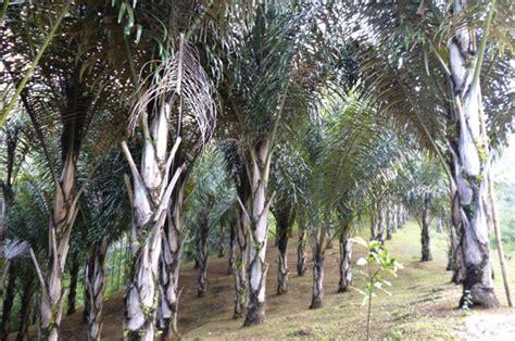 Bibit Pohon Aren benarkah pohon aren dapat menjadi konservator air tanah