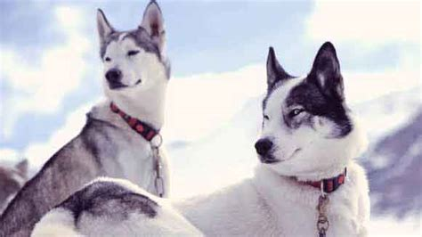 How Often Do Huskies Shed by When To Remove A Siberian Husky S Undercoat Petcarerx