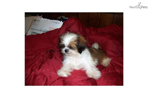 akc shih tzu puppies akc shih tzu females shih tzu puppy for sale near bowling green kentucky 2c399898