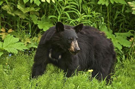 imagenes oso negro fotograf 237 a oso negro americano ursus americanus de