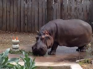 meet and greet at maxi zoo hungry horse outside brutus the hippopotamus gets a pumpkin cake for his 50th