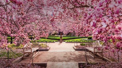 cherry tree national wallpapers page 1 sonu