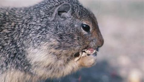rodents that eat acorns animals mom me