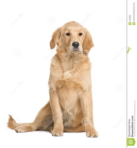 golden retriever at 5 months golden retriever puppy 5 months royalty free stock photos image 8195688
