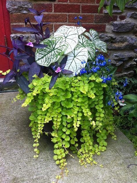 caladium lobelia creeping and purple wandering