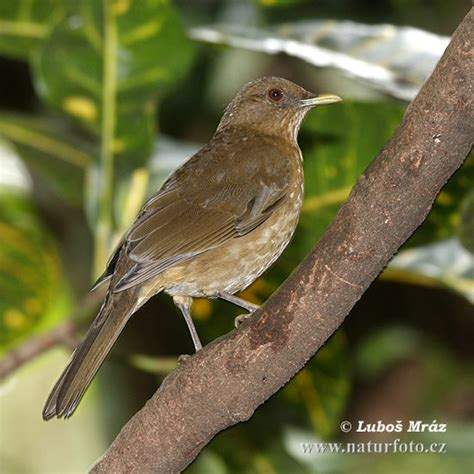 clay colored thrush clay colored thrush photos clay colored thrush images