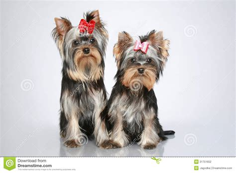 gray yorkie puppies terrier puppies on grey background stock photography image 31751652